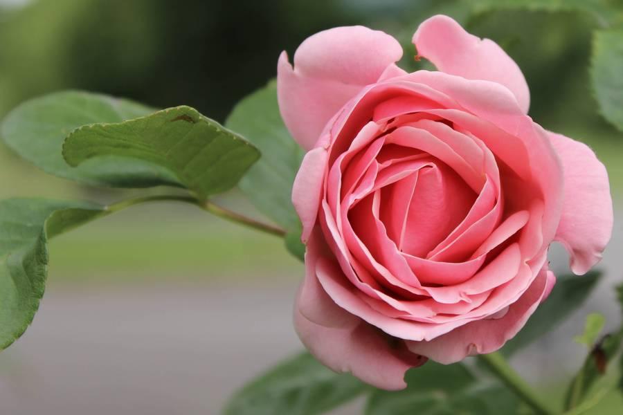 Rosengarten hilfreiche tipps zur gartengestaltung - Gartengestaltung rosengarten ...
