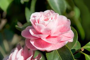 kamelie camellia japonica botanik. Black Bedroom Furniture Sets. Home Design Ideas