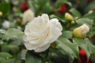 Kamelie Camellia Japonica Pflege